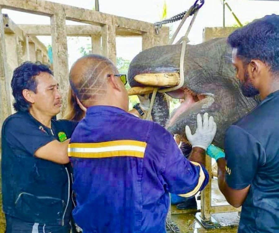 (File pix) The Veterinary team inspecting Toothie's condition on Tuesday before the elephant was euthanised on the same day. Pix courtesy of State Tourism, Culture and Environment Ministry