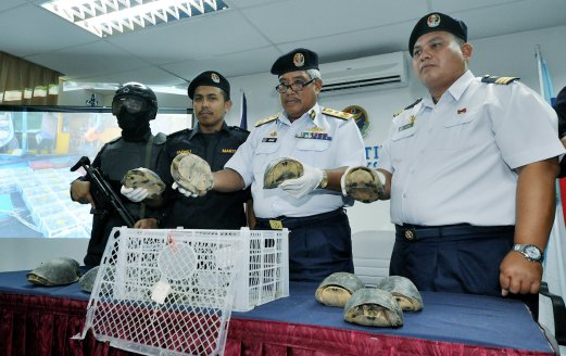 The Malaysian Maritime Enforcement Agency (MMEA) has rescued 1,400 tortoises from a local fishing vessel at the waters between Pulau Sapi and Pulau Manukan early this morning. Pix by Mohd Adam Arinin