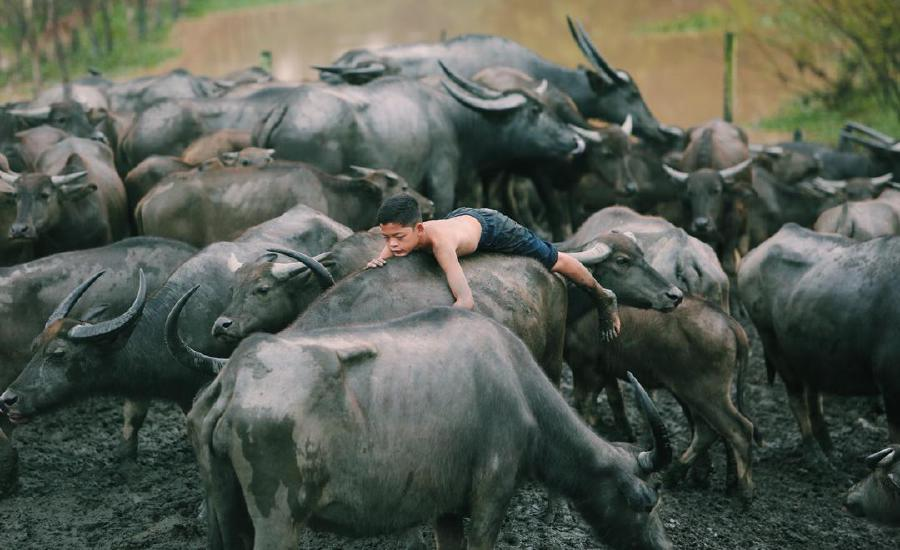 (File pix) The photo of Mohd Syukur Khamis (pix) with a herd buffaloes helped Mohd Nazri Sulaiman won the Street/People Photographer of the Year award at the 2018 Asian Geographic Image of Asia. Pix by NSTP/Ghazali Kori