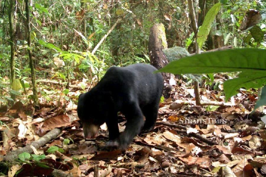 A wild sun bear in a protected area in Sabah. NSTP/COURTESY DANAU GIRANG FIELD CENTRE.