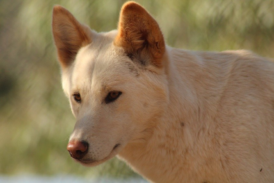 "(Stock image for illustration purposes) ""There is no historical evidence of domestication once the dingo arrived in Australia, and the degree of domestication prior to arrival is uncertain and likely to be low, certainly compared to modern domestic dogs"""