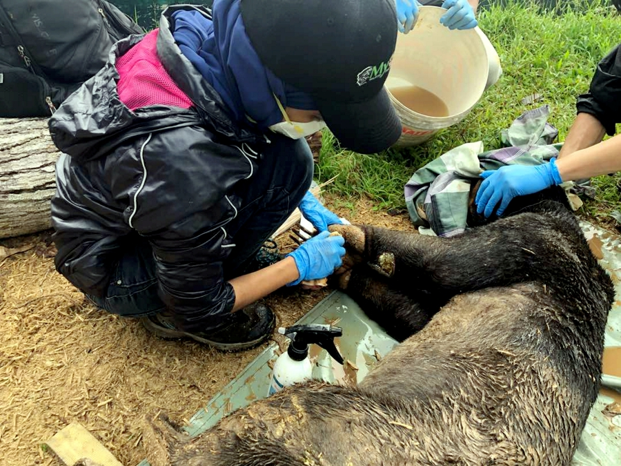 A physical examination on a sun bear found injury on the front side of its left foot at Kampung Abai Kinabatangan. The injury is believed to be self inflicted based on the condition of the cut and no foul play is suspected. (Pictures courtesy of Sabah Wildlife Department)