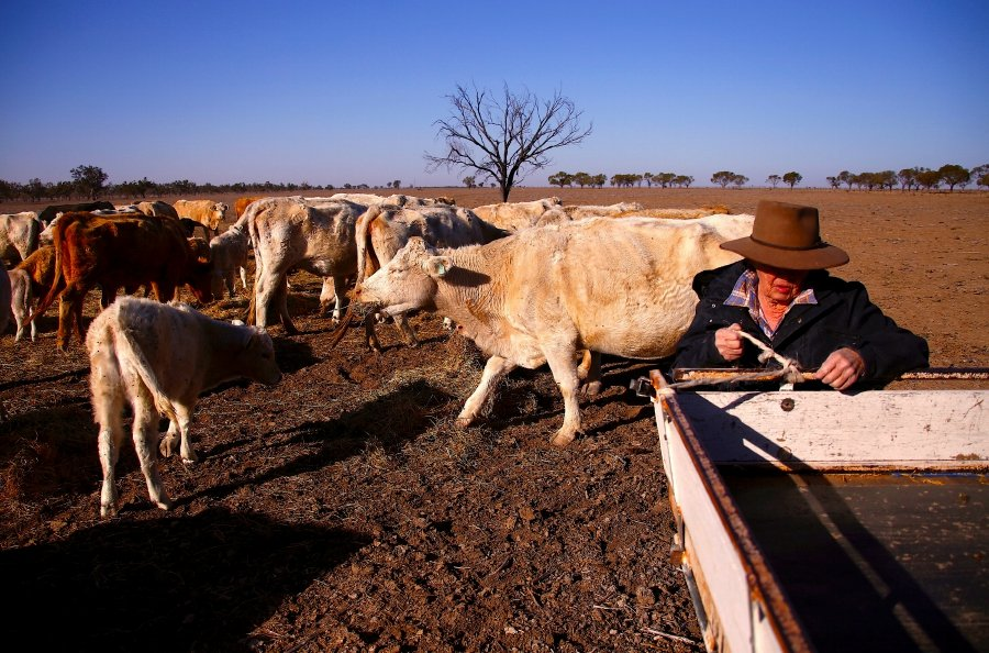 Farmer May McKeown feeds the remaining cattle on her drought-effected property located on the outskirts of the northwestern New South Wales town of Walgett in Australia, July 20, 2018. Picture taken July 20, 2018. REUTERS