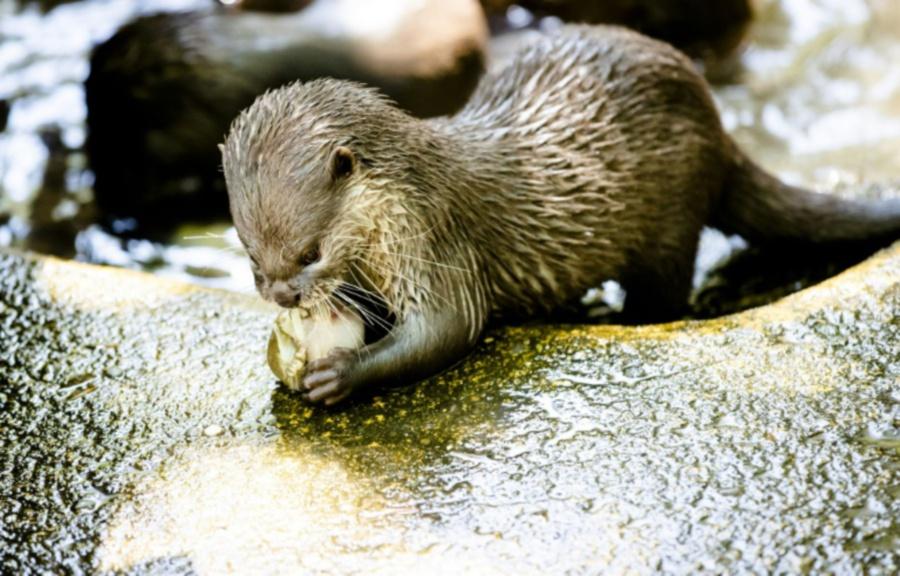 Instagrammers Driving Cute Otters Towards Extinction