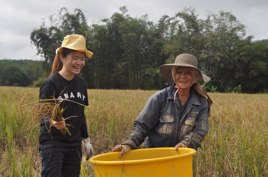 Pung Jia Chyi assisting Sinah Lun Anid in harvesting paddy in her plot at Bario Asal Village.
