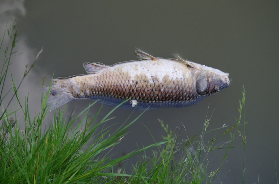 Image result for dead fish