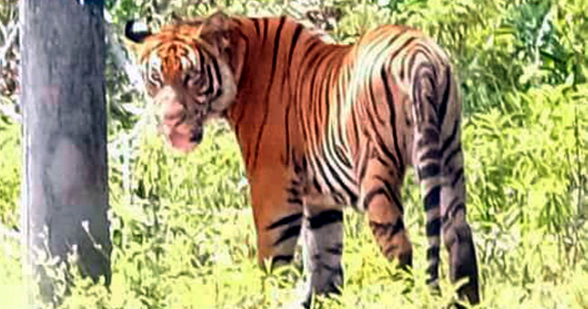 Tigers spotted in Kampung Besul