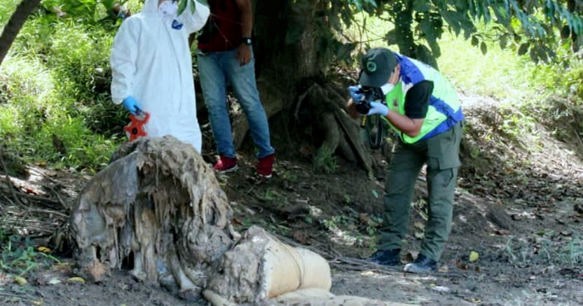 Another Borneo pygmy elephant found dead