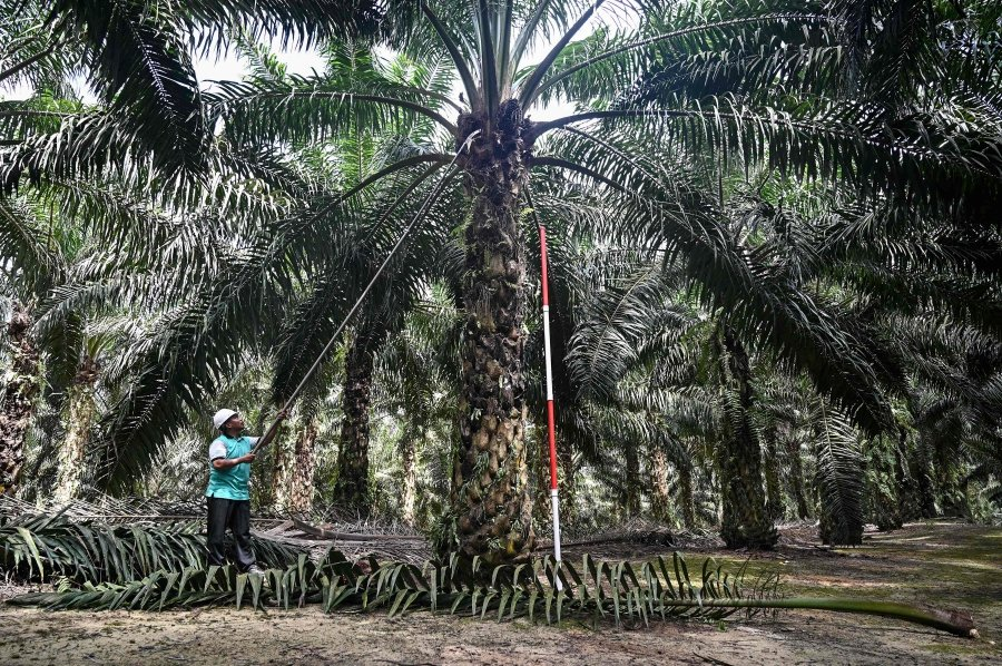 Dwarf trees may be answer to Msia's palm oil industry future