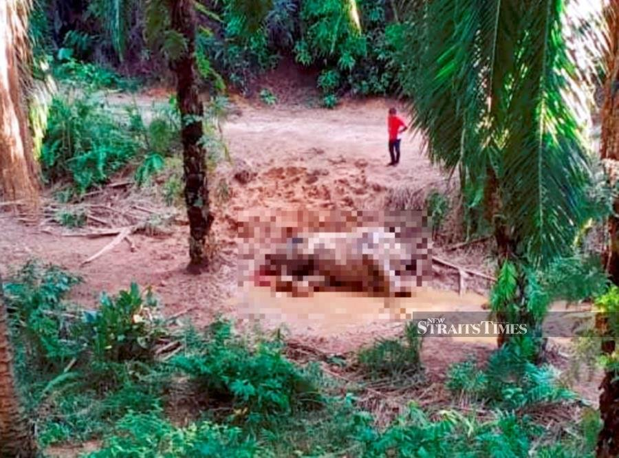 A man checks on the carcass of the Bornean pygmy elephant found at a oil palm plantation in Beluran. - NSTP/Courtesy of Sabah Wildlife Department.