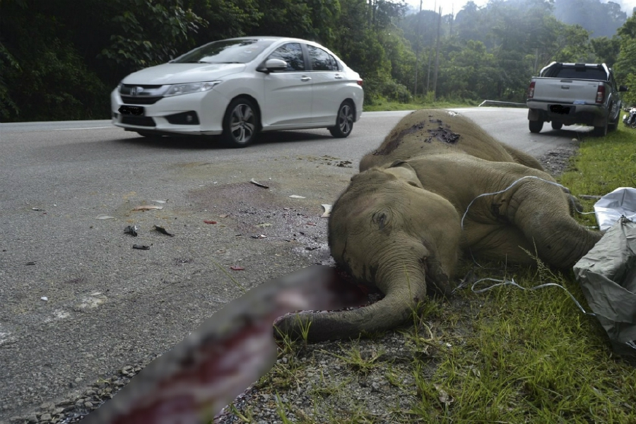The elephant calf was killed when a car crashed into the animal at Km43.6 of the East-West Highway near Air Banun. EPA