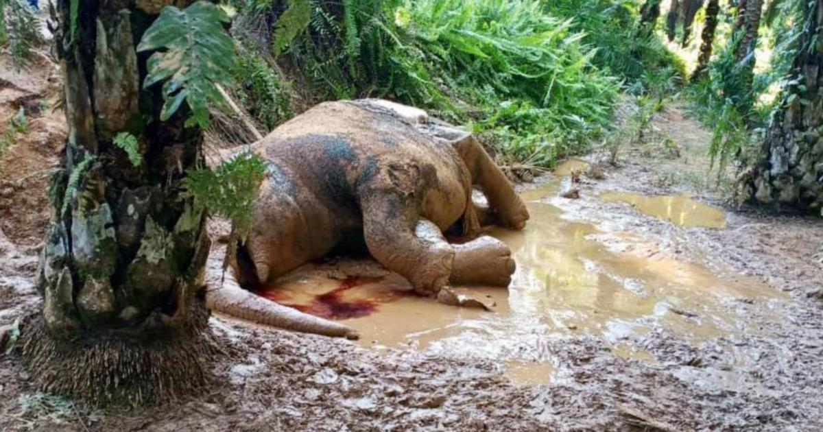 Another pygmy elephant found dead in Sabah, tusks removed