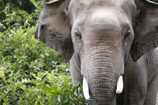 (File pix) An elephant is seen at Phnom Tamao Wildlife Rescue Center in Takeo province, Cambodia, 11 August 2016. EPA