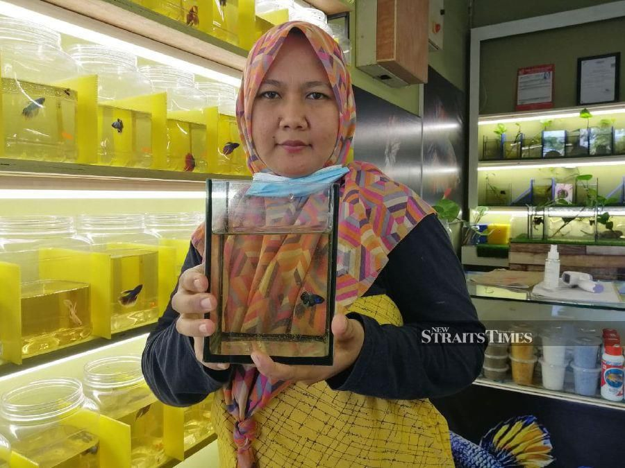 Never in her wildest dream did Norhidaya Shafinaz Md Yunus, from Taman Seri Serting thought she would one day run a stall selling fighting fish to support her family.  -  STR/ABNOR HAMIZAM ABD MANAP.