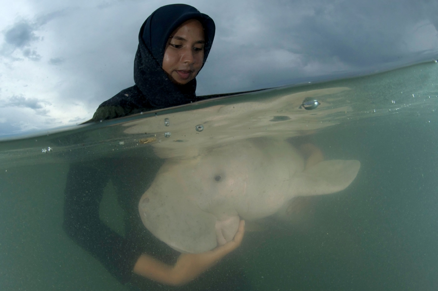 Thailand's orphaned baby dugong becomes conservation star
