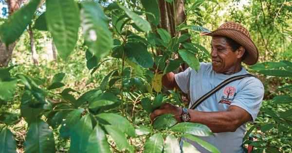 Latin America's 'magic tree' slowly coming back to life