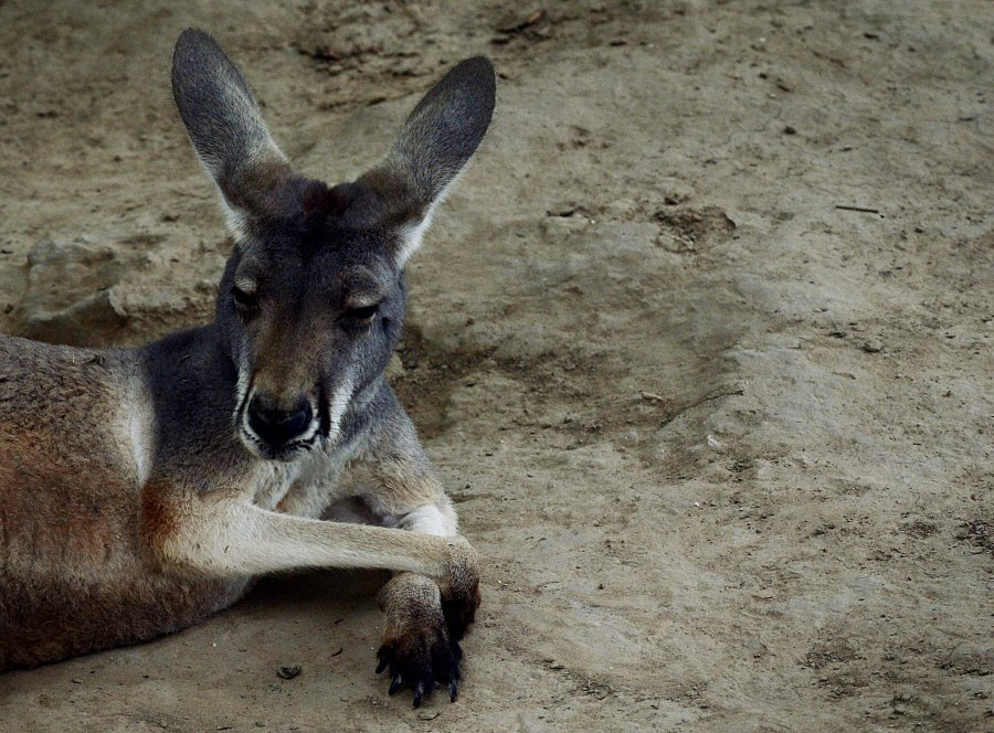 Kangaroo killed by tourists tossing bricks to make it hop