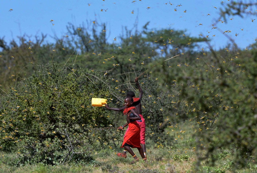 Invading locusts spring into flight from ground vegetation as young girls in traditional Samburu-wear run past to their cattle at Larisoro village near Archers Post. -AFP