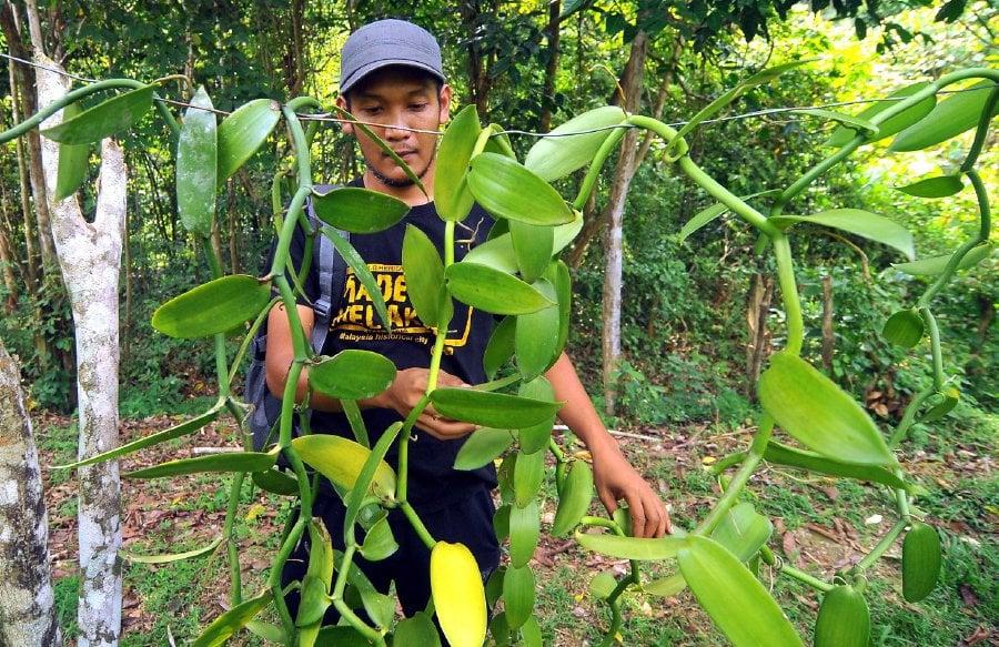 Mohd Feisal's venture into vanilla farming finally pays off