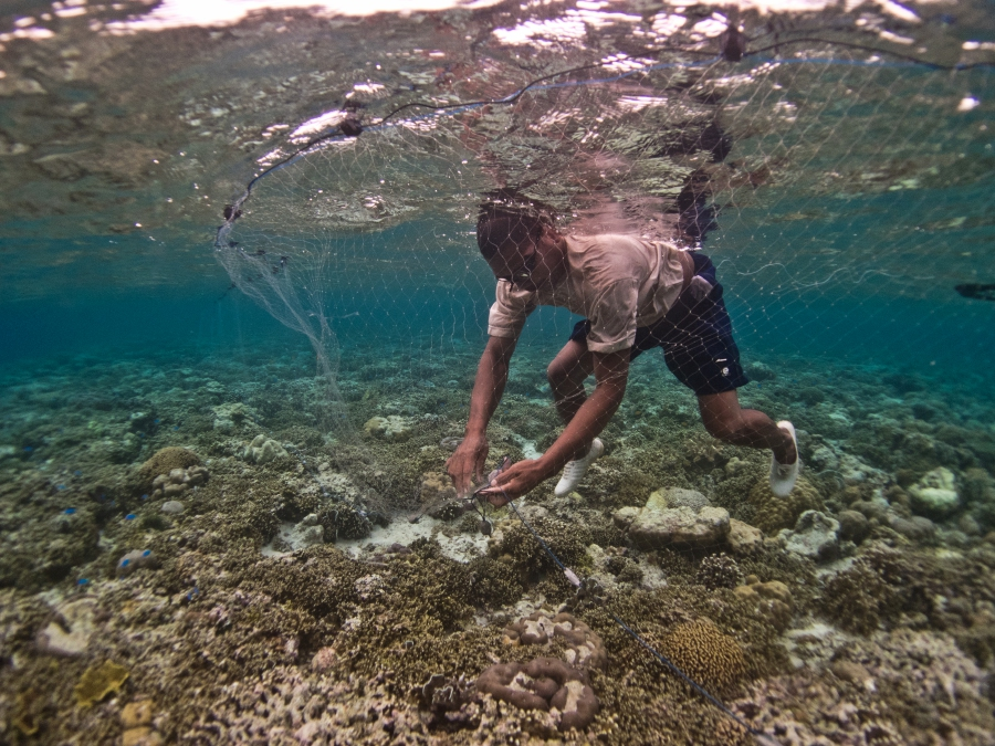 A local in Indonesia is gleaning ( invertebrate harvesting by hand and on foot at low or shallow tide) for sea urchins in a seagrass meadow which is important for the food security and livelihoods of coastal communities.