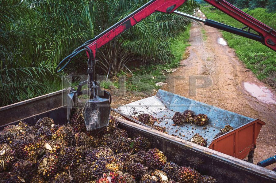 Short and skinny oil palms to boost world's most-used edible oil