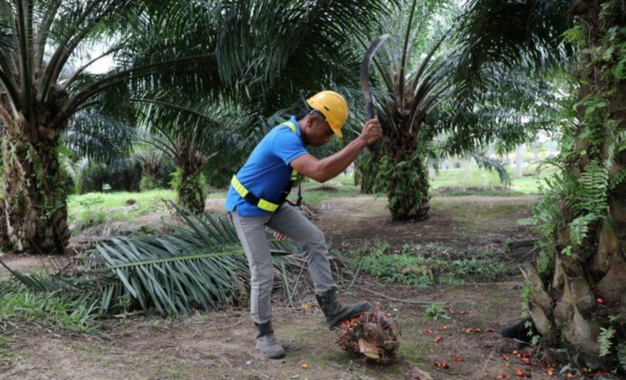 PALM OIL: MCO: Palm oil groups urge Sabah to allow operations to resume