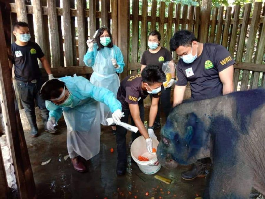 """Queen Elizabeth Hospital eyes specialists (in blue gown) inspecting juvenile elephant """"Sahabat"""" at Lok Kawi Wildlife Park. - Picture courtesy of Wildlife Rescue Unit"""