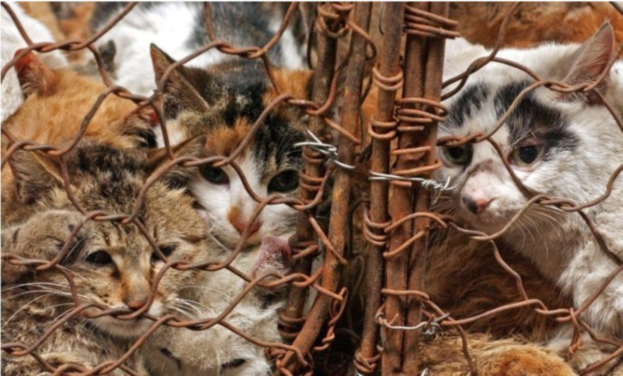 Chinese man caught with 500 cats destined for restaurants