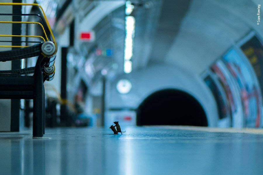 Mice fighting over crumbs in London Underground wins wildlife photo award