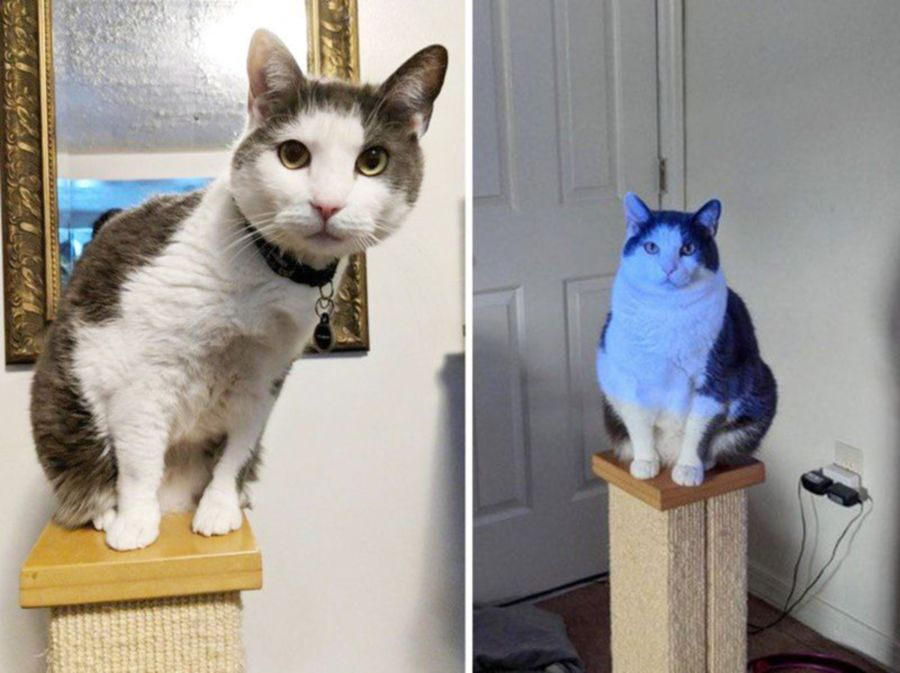"Bfore-and-after picture of a cat named Miko Angelo with the caption ""March 18 vs April 14"". -Pic source Miko Angelo socmed"
