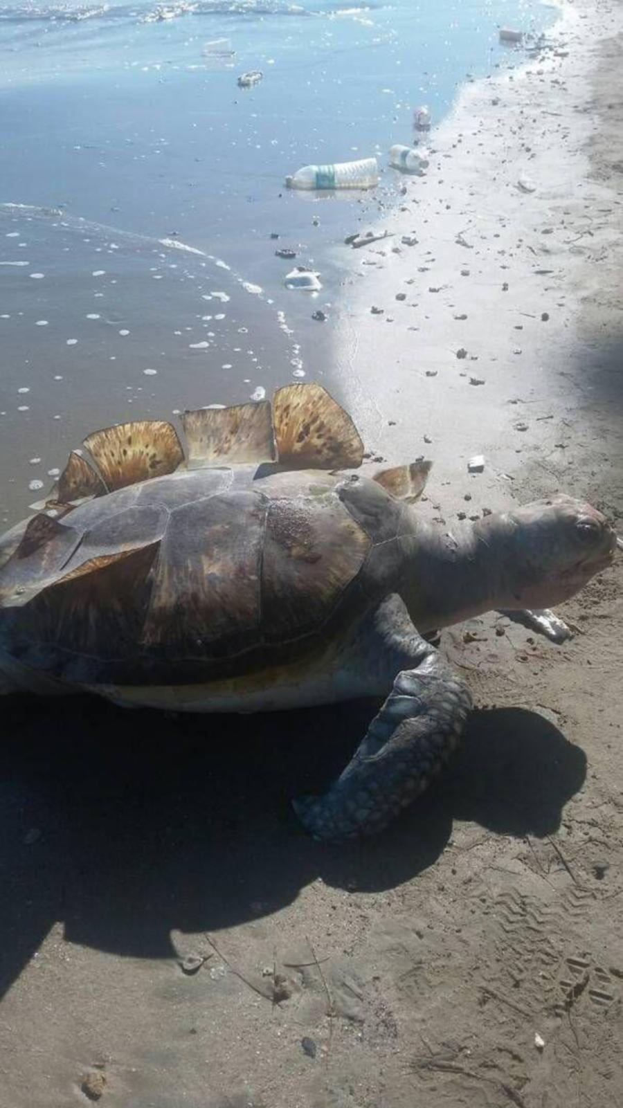 two dead turtles found washed up on sabah shores within two days