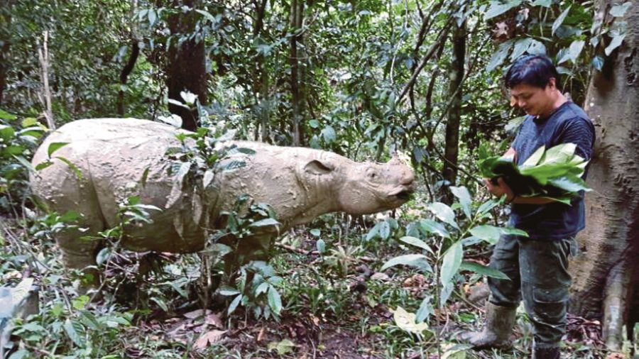 Wildlife experts here bade a sad farewell to Puntung, one of Malaysia's three remaining Sumatra rhinos, who was put down after a brief battle against cancer. Pic by NSTP/Courtesy of Sabah Wildlife Department