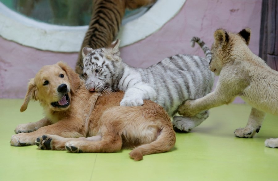 Puppy love: Lion, tigers and hyenas reared by dog at Chinese