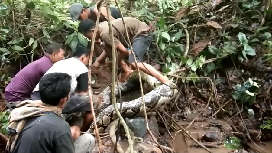 Great snakes! Indonesians wrestle with giant python | New