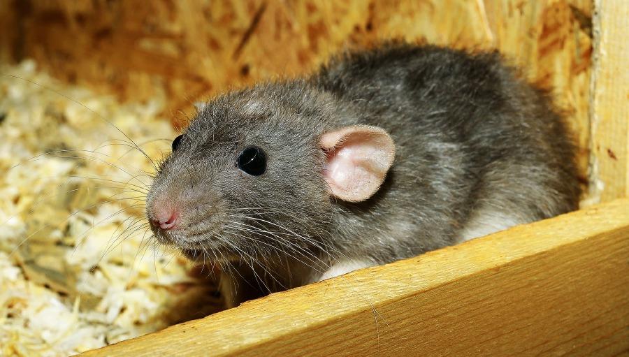 Rats Los Angeles City Hall Battles Rodent Infestation New Straits