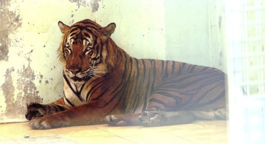 Orang Asli in trouble for trapping tiger | New Straits Times