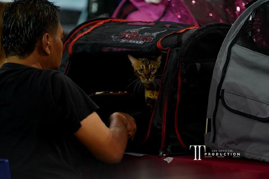 Saladin was victorious during the Cat Fanciers' Association (CFA) International Cat Show in Terengganu recently. -NSTP/courtesy pix