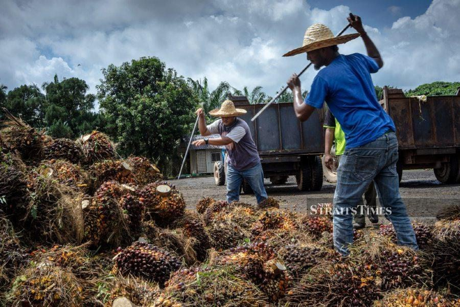 Employees gather harvested palm fruits at the Bukit Senorang palm oil mill owned by United Malacca Bhd in Pahang. Photographer: Sanjit Das/Bloomberg