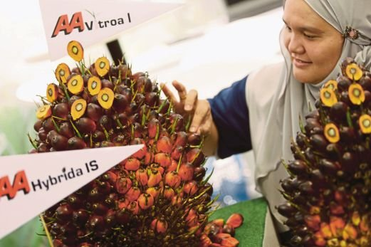 (NST File Pix) Applied Agricultural Resources Sdn Bhd senior executive Masniwati Jemali intriducing high yielding oil palm breeds named AA Vitroa and AA Hybrida to oil palm planters.
