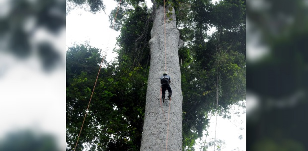 Tallest certified red durian tree at a village in Tongod