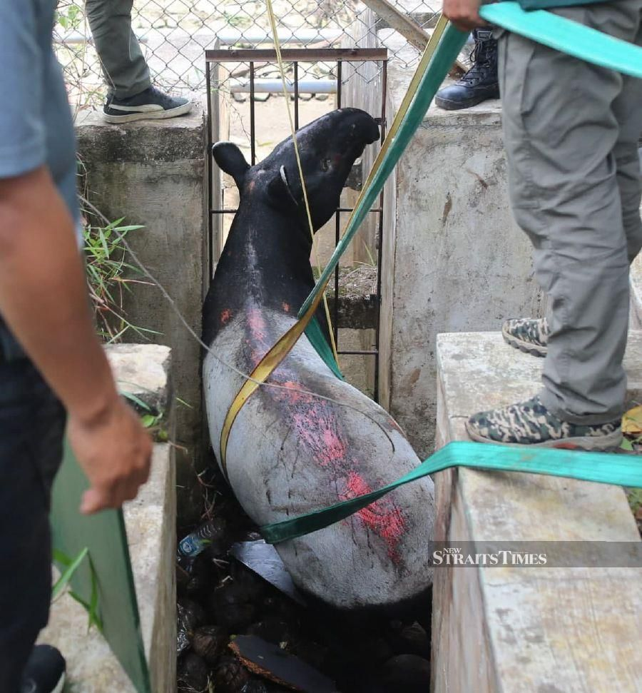 After five hours, the Malayan Tapir was rescued by personnel from Civil Defence Force (APM) and Department of Wildlife and National Parks (Perhilitan). - NSTP/FARIZUL HAFIZ AWANG