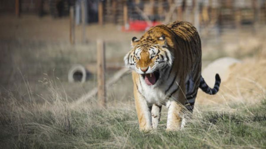 About two thirds of the world's animals have vanished over the last 50 years, a WWF report said last week. Tigers have also become an endangered species. - File pic