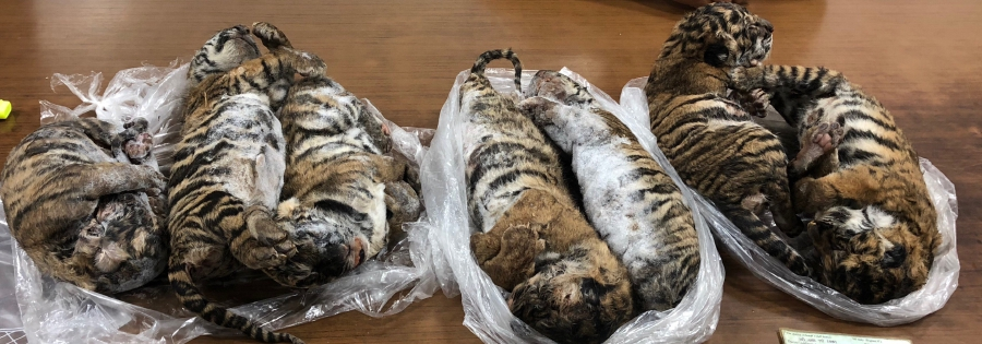 A haul of frozen tiger carcasses found in a Hanoi parking lot has led to arrest of a key wildlife trafficking suspect, Vietnamese state media said July 26, as the country tries to tackle a well-worn smuggling route from Laos. (Photo by Nam GIANG / AFP)