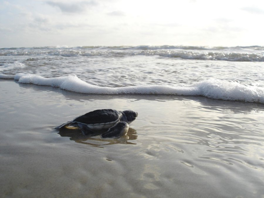 Green sea turtle hatchling making its way to the sea.