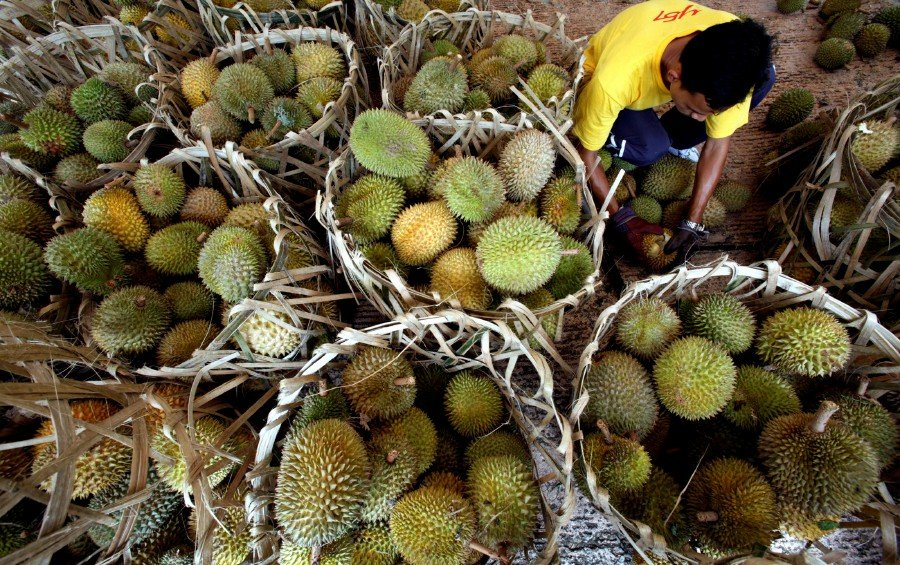 """A vendor opens durians at the """"Lets Eat Fruits"""" carnival which promotes the consumption of tropical fruits in Putrajaya on August 4, 2007. -Reuters"""