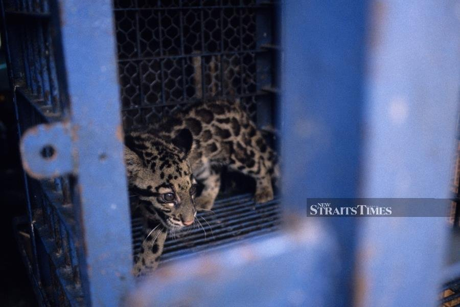 Clouded leopard cub for sale in a market. Photo courtesy of TRAFFIC.