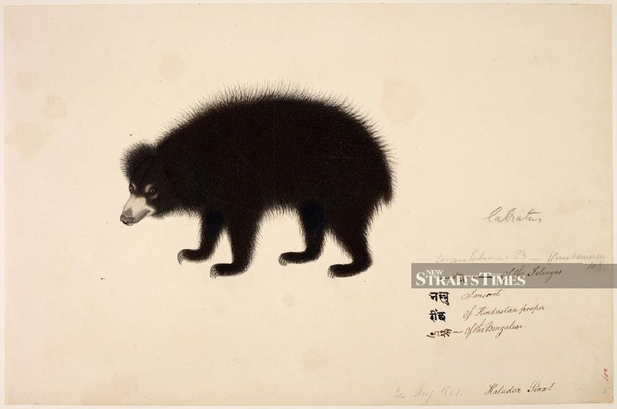 Haludar's Bengal drawing of a sloth bear circa 1800 has a delightfully lively quality rarely captured in European works.