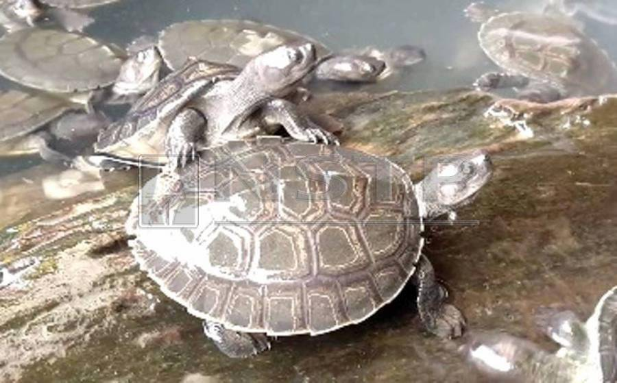 Terrapin hatchlings are available for adoption. Your money goes towards its care until its release into the river.