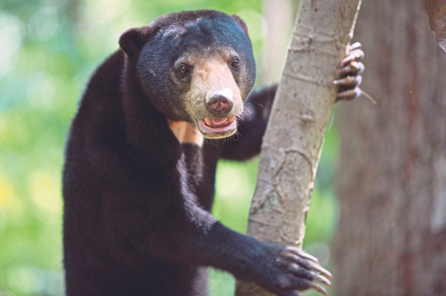 The Malayan sun bear's survival is threatened by poaching, habitat destruction and illegal wildlife trade.
