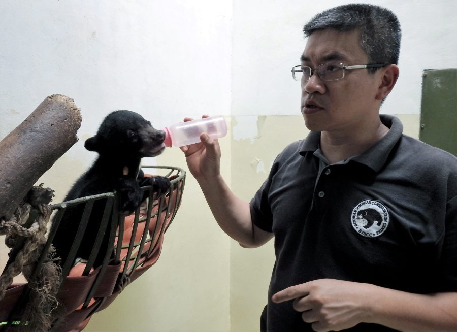Bornean Sun Bear Conservation Centre (BSBCC) founder and chief executive officer, Dr Wong Siew Te bottle feed a rescued sun bear cub named Wawa. NSTP file pic.